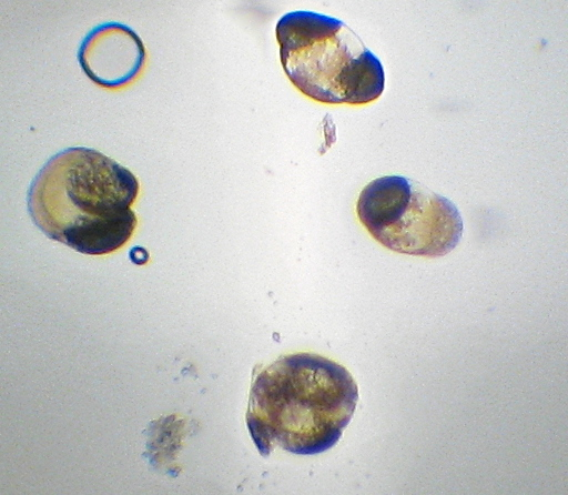 Apparently individual pollen grains from the Lyreleaf Sage